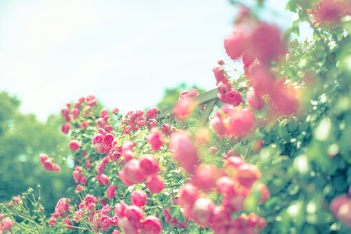 ガーデンに咲くピンクの野ばら