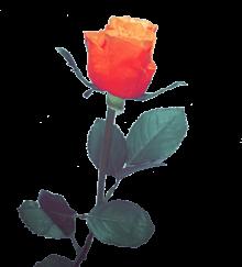 オレンジのバラ一輪